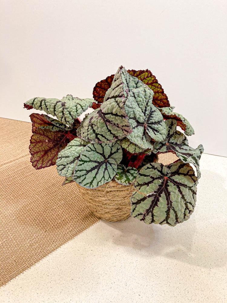 Begonia Royal