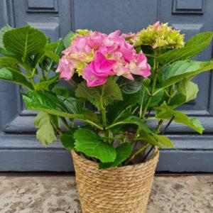 hortensia-lechappee-vegetale