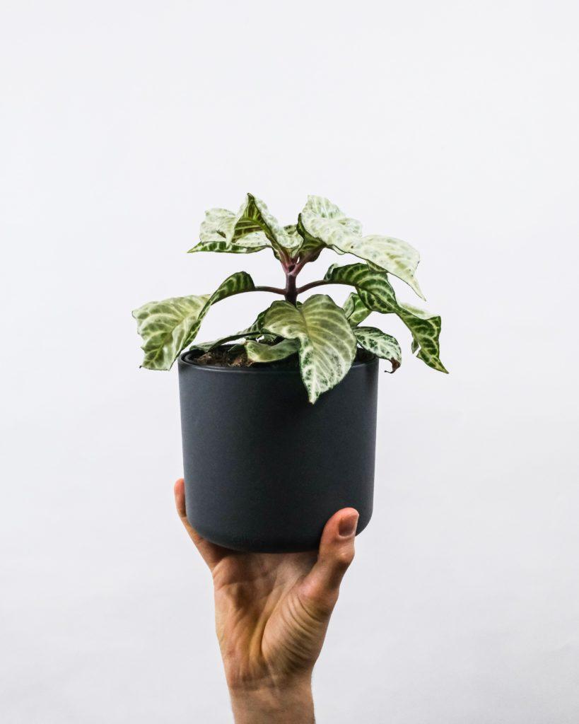 """Aphelandra """"plante zèbre"""""""